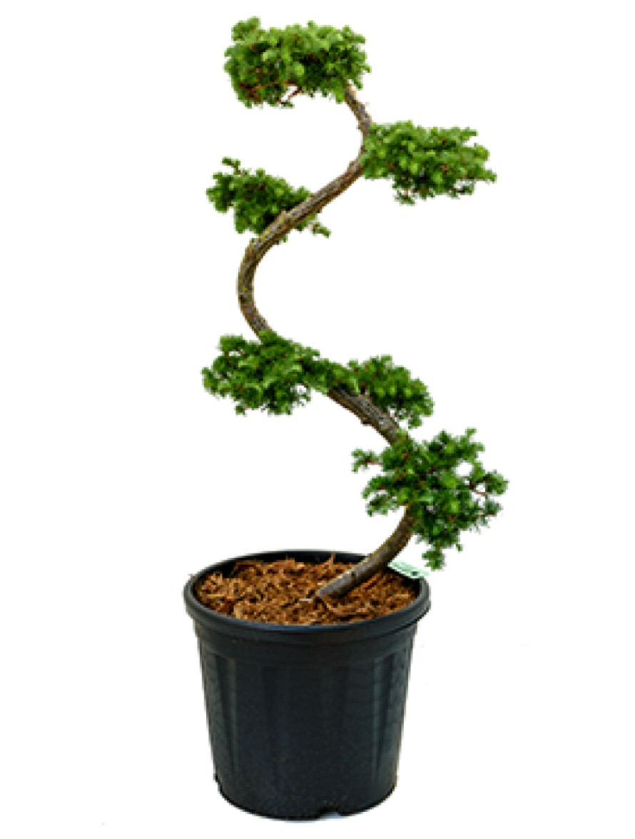larix kaempferi japanische l rche bonsai terrapalme heim und gartenshop. Black Bedroom Furniture Sets. Home Design Ideas