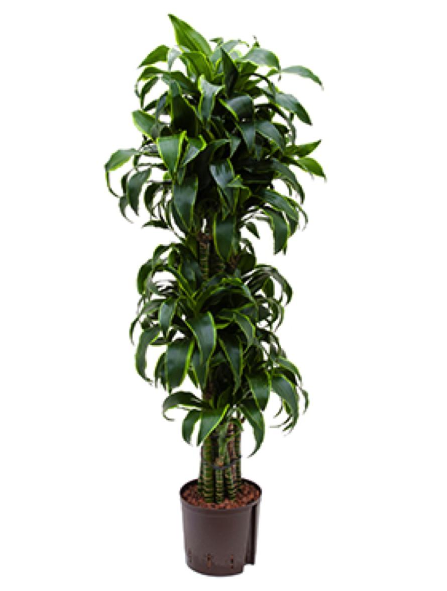dracaena dorado drachenbaum terrapalme heim und. Black Bedroom Furniture Sets. Home Design Ideas