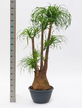 Beaucarnea recurvata 160 cm | Terrapalme Heim- und Gartenshop