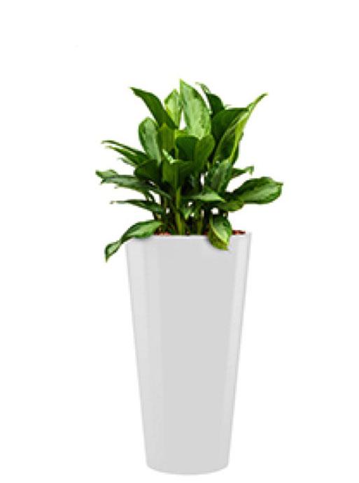 Runner Pflanzkübel rund bepflanzt mit Aglaonema silver   Terrapalme ...