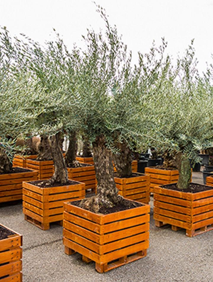 olea europaea olivenbaum bonsai in holzk bel. Black Bedroom Furniture Sets. Home Design Ideas