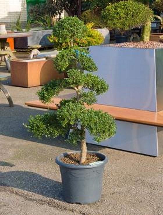 ilex crenata 150 cm bonsai terrapalme heim und gartenshop. Black Bedroom Furniture Sets. Home Design Ideas