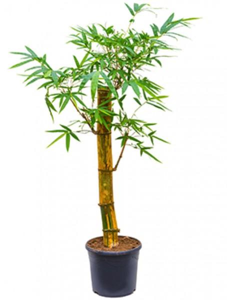 Bambusa vulgaris 160 cm | Gold Bambus | Terrapalme Heim- und Gartenshop
