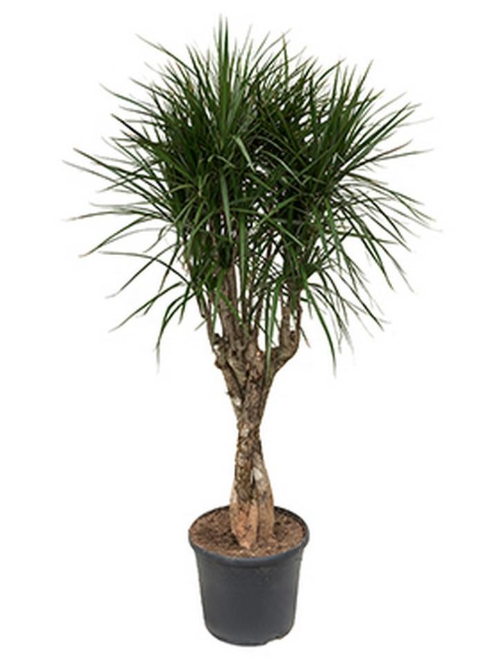 dracaena marginata 150 cm drachenbaum mit geflochtenen. Black Bedroom Furniture Sets. Home Design Ideas