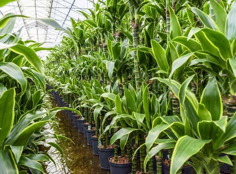 https://www.terrapalme.de/media/images/Dracaena-Hydrokultur-Pflanzen.jpg